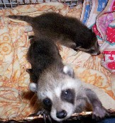 Orphaned Raccoon Babies